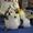 ши-тцу щенок  шоу класса #1319476