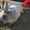 Чистопород.кролики Серебро #1355510