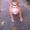 АПБТ,  питбуль,  ам.пит-бультерьер,  щенки,  3 мес.,  док. ККУ/WKU/ #1594089