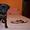продам собаку мопс щенок порода прививки торг черный документы недорого  #1602947