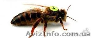 Продам пчеломаток карника - Изображение #1, Объявление #1226863