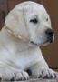 Лабрадор щенки продам