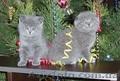 Британские (шотландские) вислоухие и прямоухие котята
