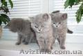 Продам британских голубых котят