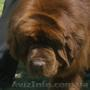 Предлагается к разведению коричневый кобель породы ньюфаундленда