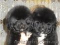 Продам алиментных щенков породы ньюфаундленда