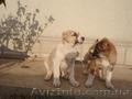 продам щенков алабая(волкодава)