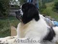 Предлагается  к разведению бело-черный кобель породы ньюфаундленда