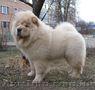 Подрощенный щенок чау-чау