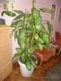 Комнатное домашнее растение Диффенбахия,  высотой 1, 65м,  идеальное состояние!!!!!