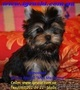 Элитные щеночки йоркширского терьера питомник Моя Малютка