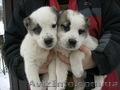 Срочно продам не дорого щенков Северо Кавказского волкодава (Алабай)