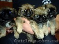 Продам замечательных щенков пекинеса