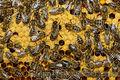 Продаю пчелосемьи украинской степной породы пчёл