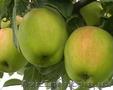 Продам яблука зимніх сортів