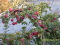 Акция! саженцы вишни,  сливы,  яблони,  ореха