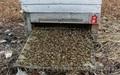 20% настойка пчелиного подмора - Изображение #3, Объявление #966844