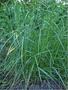 Продам семена райграса пастбищного сорт Обрий