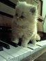 Персидский котенок Агнешка -классная малышка!