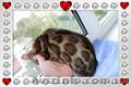 Бенгальские котята лучших линий
