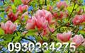 Магнолия желтая,  розово-белая,  фиолетовая,  сиреневая,  розовая