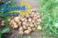 Картофель семенной Ривьера, Тирас и другие со склада в Виннице  - Изображение #4, Объявление #1302490