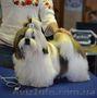 ши-тцу щенок  шоу класса, Объявление #1319476
