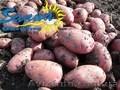 Картофель товарный со склада в Виннице
