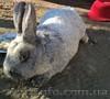 Чистопород.кролики Серебро