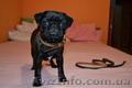 продам собаку мопс щенок порода прививки торг черный документы недорого