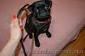 продам собаку мопс щенок порода прививки торг черный документы недорого  - Изображение #2, Объявление #1602947