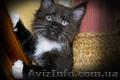 Мейн-кун, чистокровные котята, тигровые - Изображение #3, Объявление #1608415