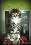 Мейн-кун,  чистокровные котята,  тигровые