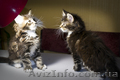 Мейн-кун, чистокровные котята, тигровые - Изображение #2, Объявление #1608415