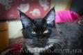 Котёнок мейн-кун, окрас смокинг, паспорт, прививки, 5 месяцев, мальчик - Изображение #2, Объявление #1619465