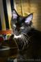 Котёнок мейн-кун, окрас смокинг, паспорт, прививки, 5 месяцев, мальчик - Изображение #3, Объявление #1619465