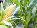 Закуповую кукуруздзу, дорого, Объявление #1622798